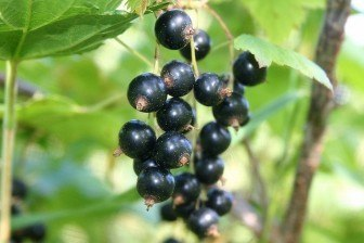 Oil of black currant seeds