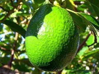 Avocado for dietary fiber
