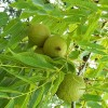 Using Black Walnut for Parasites and Intestinal Worms