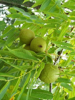 Black-walnut-parasites