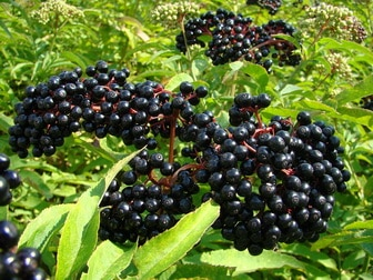 Elderberry for influenza recovery