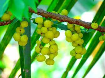 Indian gooseberry fruit