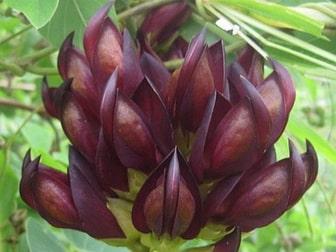 Mucuna plant uses