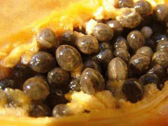 Papaya seeds for parasitic infection