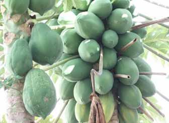 Enzymes in Papaya