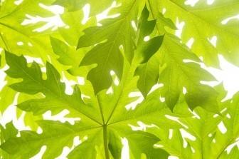 Papaya leaf dengue cure
