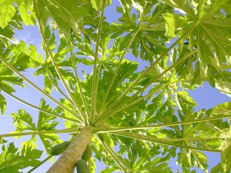 Papaya leaves cancer