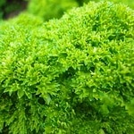 Parsley Skin
