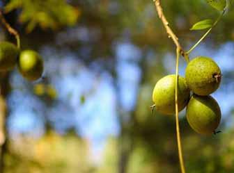 Black walnuts skin problems